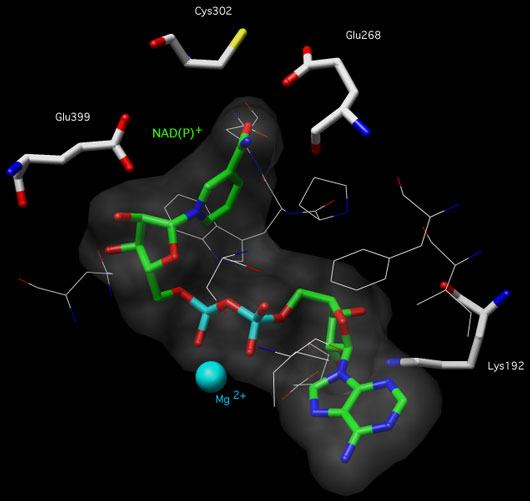 Chimera picture of the active site ALDH2 with labeled amino acids and NAD