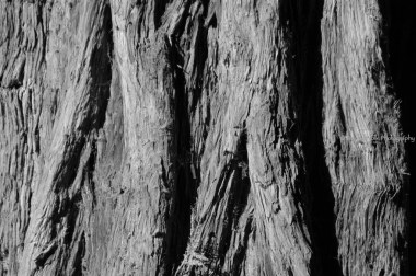 texture of a sequoia tree's bark