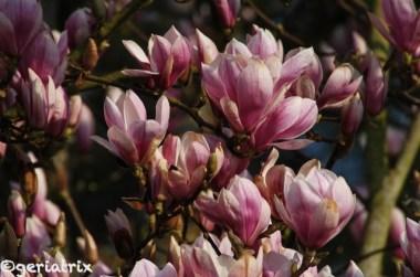 181 magnolien_new