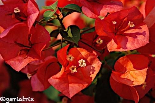 Bild 960 plomarion bougainvilla_new