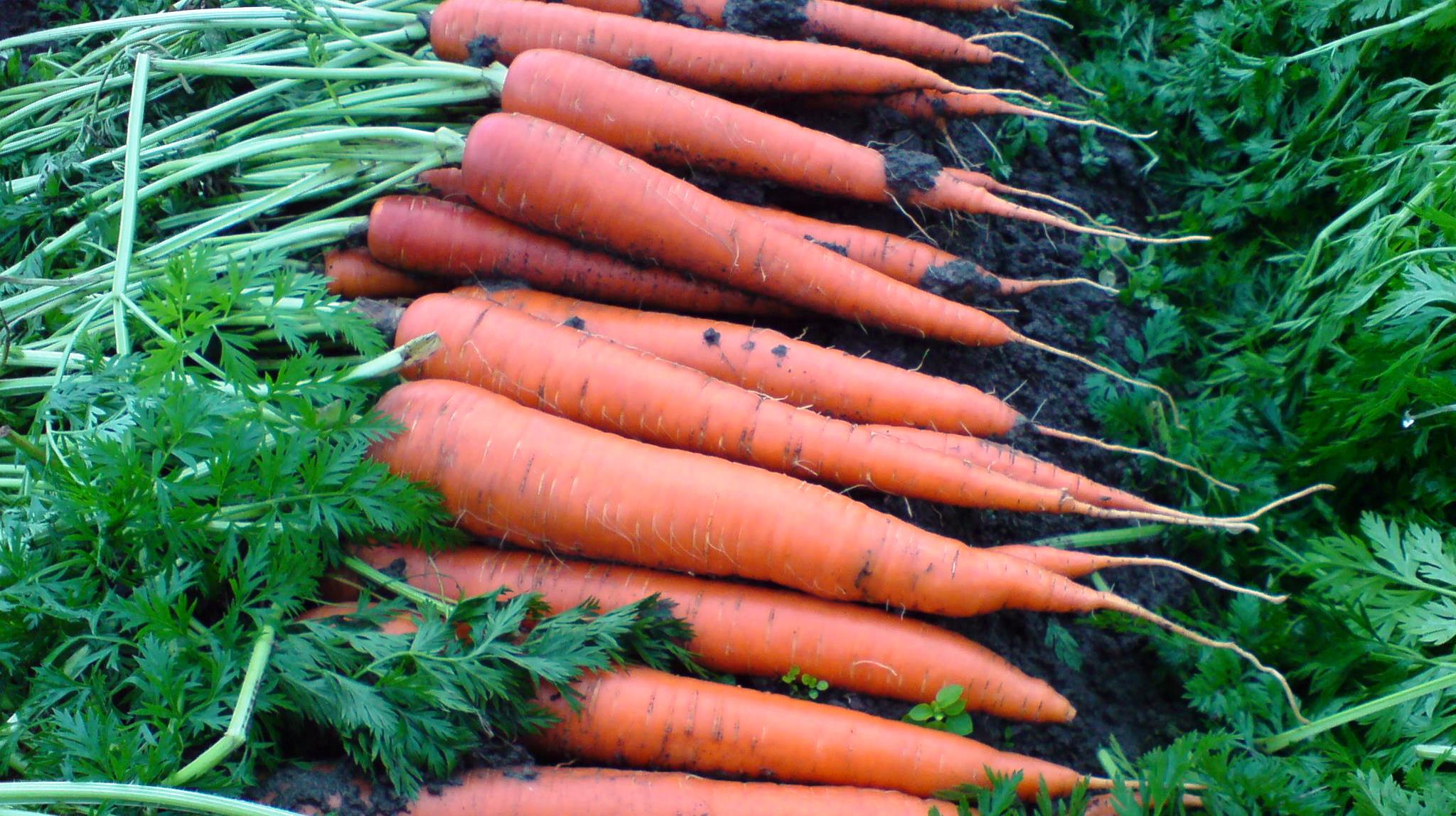 Seed Treatments For Carrots Germains Seed Technology