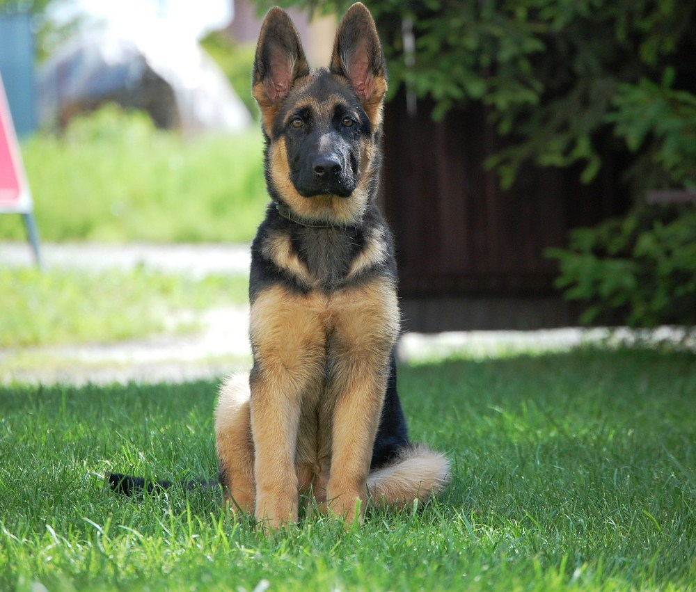 Do German Shepherds 'turn' on their owners?