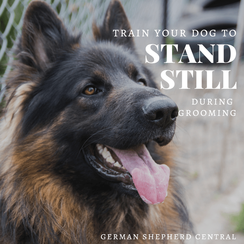 Teach your German Shepherd to stand still for grooming