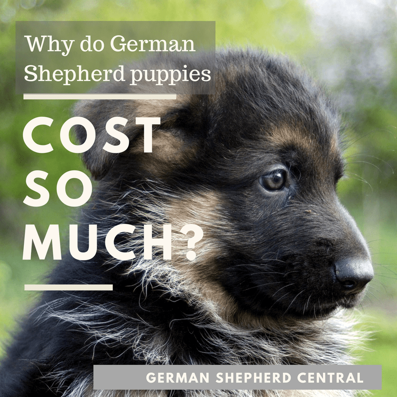Why do German Shepherd puppies cost so much?