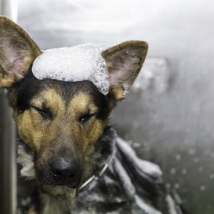How Often Should You Bathe A German Shepherd?