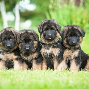 How To Select A German Shepherd Puppy
