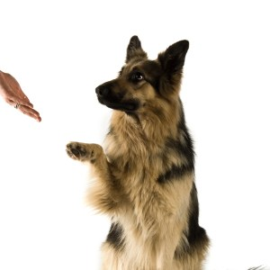 """How To Teach The """"Paw"""" Command"""