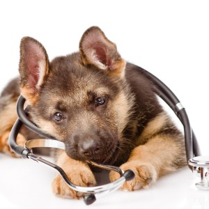 Spaying or Neutering Your German Shepherd | German Shepherd