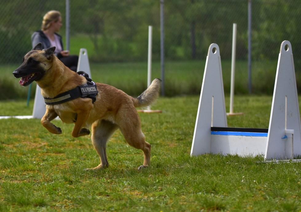 flyball for german shepherds