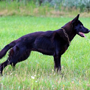 Black German Shepherd Info