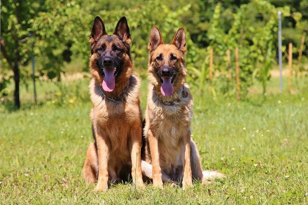 German Shepherd Types