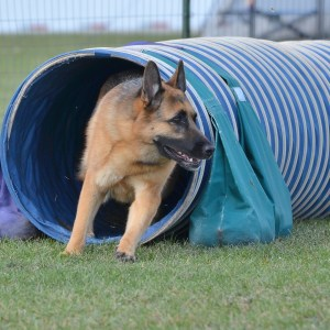 Agility Training For German Shepherds