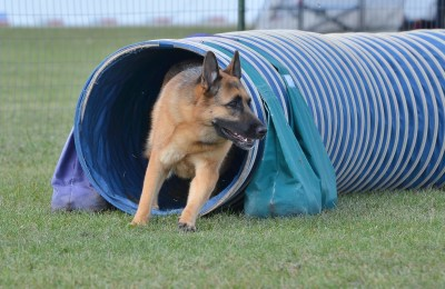 German Shepherd In Agility Tunnel