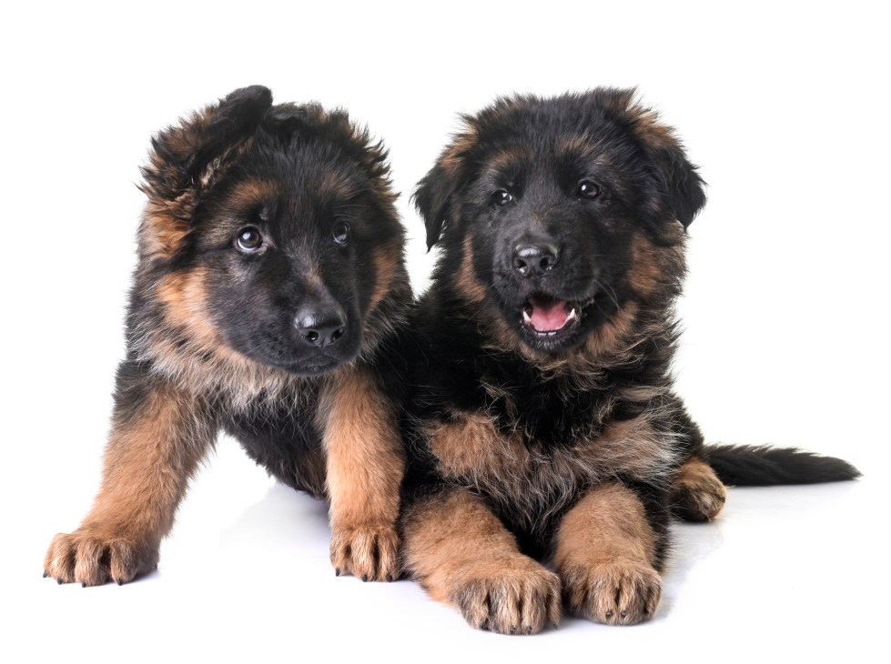 How much do German Shepherd puppies cost