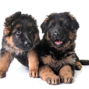 How Much Do German Shepherd Puppies Cost?