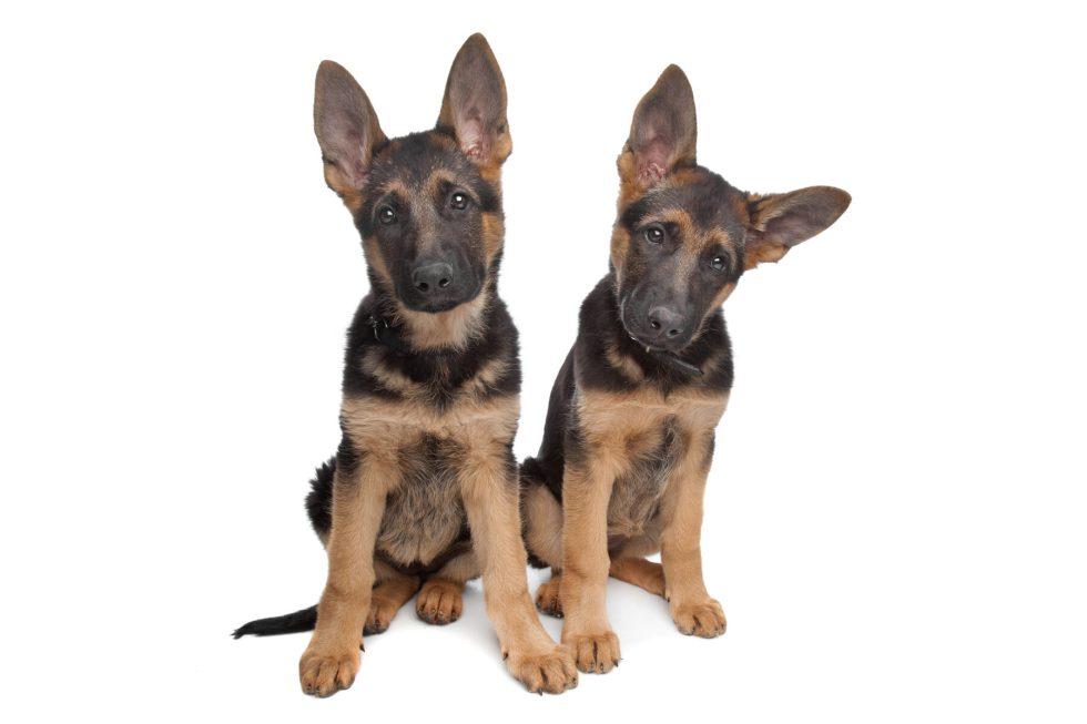 German Shepherd puppies with large ears