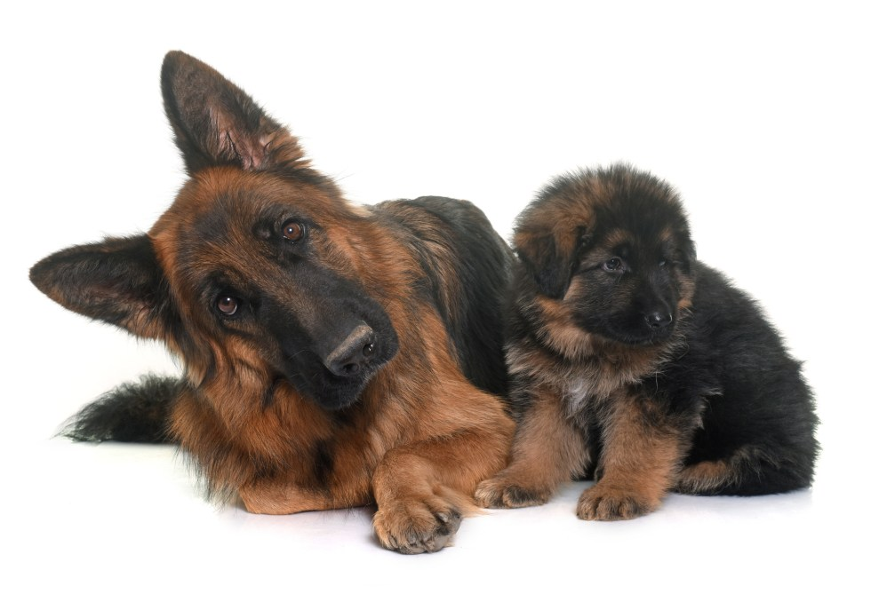 German Shepherd and puppy with healthy coats
