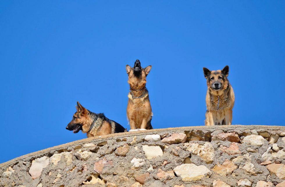 German Shepherds howling