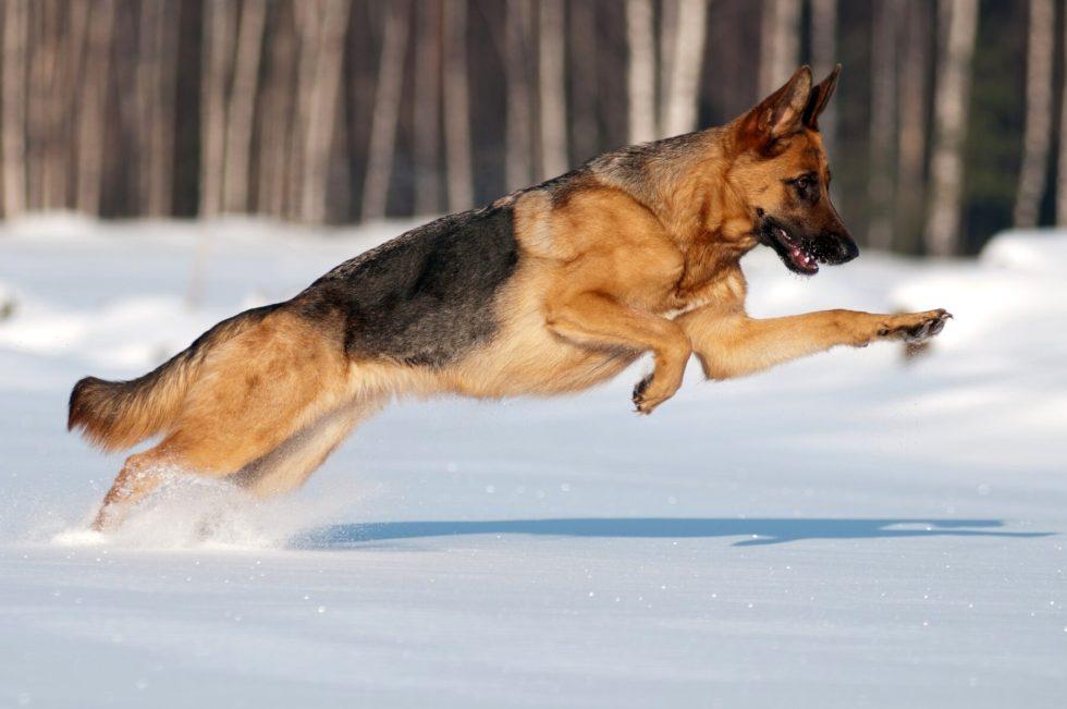 Do German Shepherds Like Snow