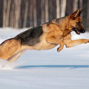 Do German Shepherds Like Snow?