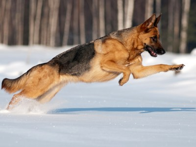 Do German Shepherds Like Snow