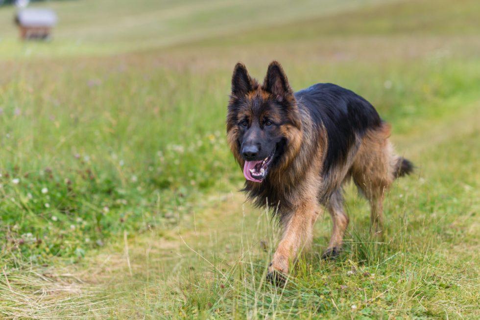German Shepherd walking in grass
