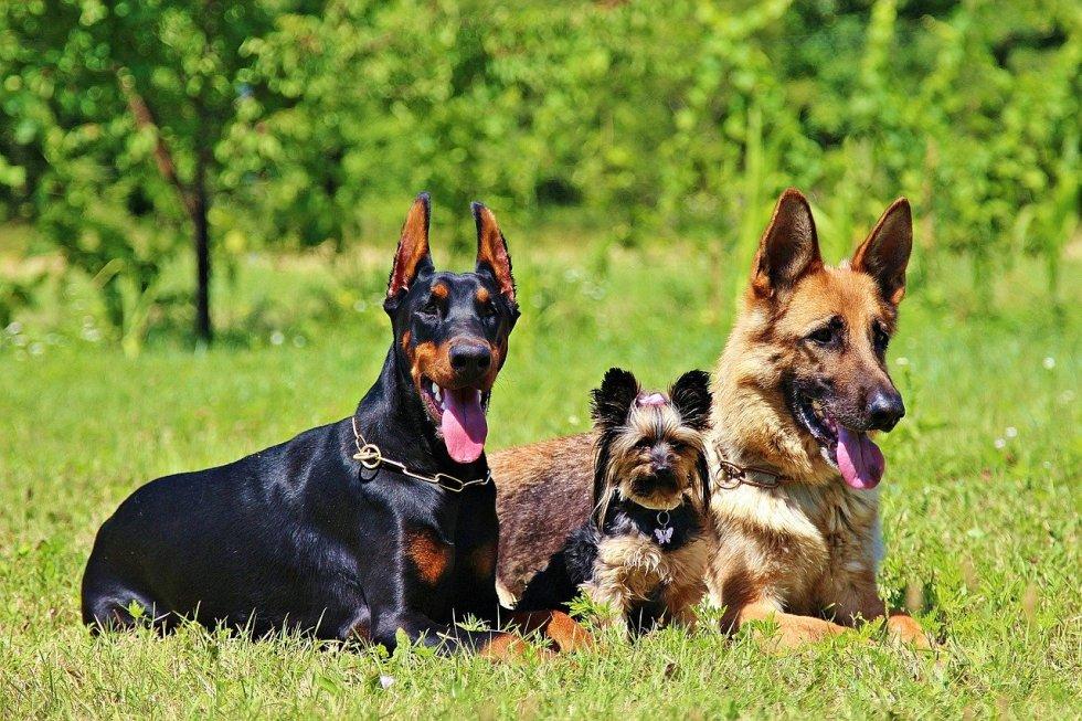 German Shepherd with dogs