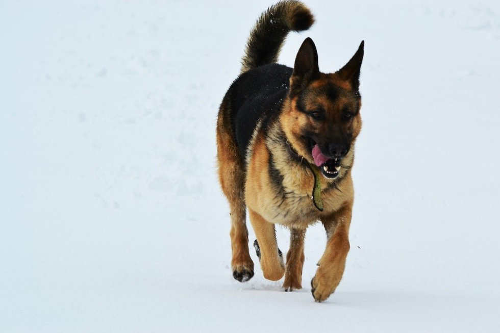 GSD running in the snow