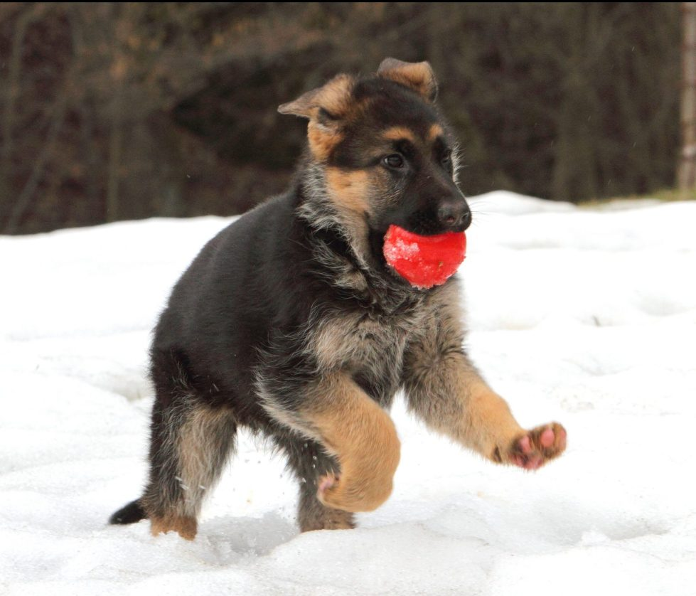 Best dog toy for German Shepherd Puppies