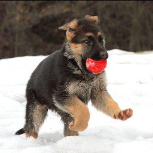 Best Toys For German Shepherd Puppies