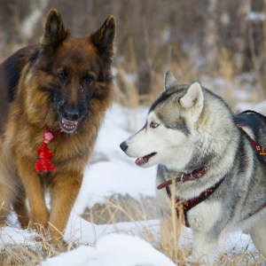 German Shepherd Vs Husky
