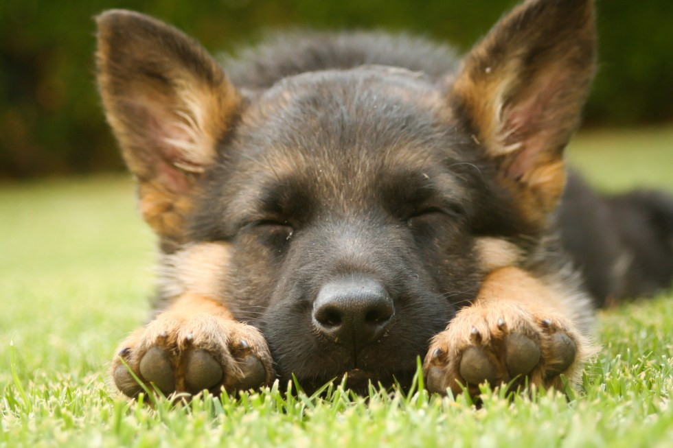 Do German Shepherd Puppies Sleep A Lot?