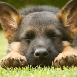 Do German Shepherd Puppies Sleep A Lot?
