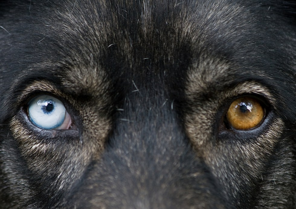 Do German Shepherds Have Blue Eyes