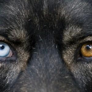 Do German Shepherds Have Blue Eyes?