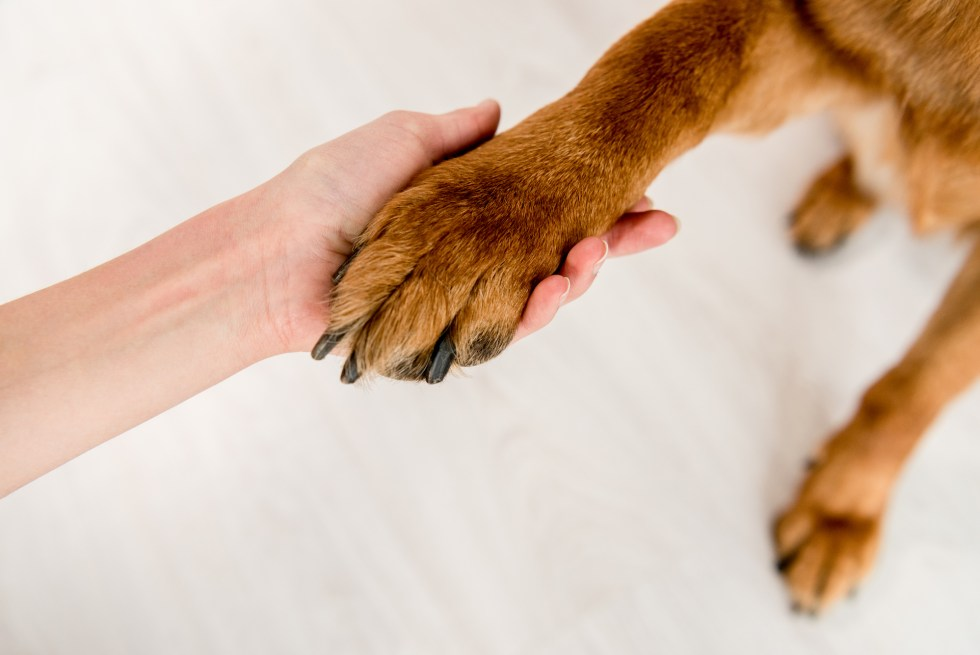 Training your GSD to shake hands