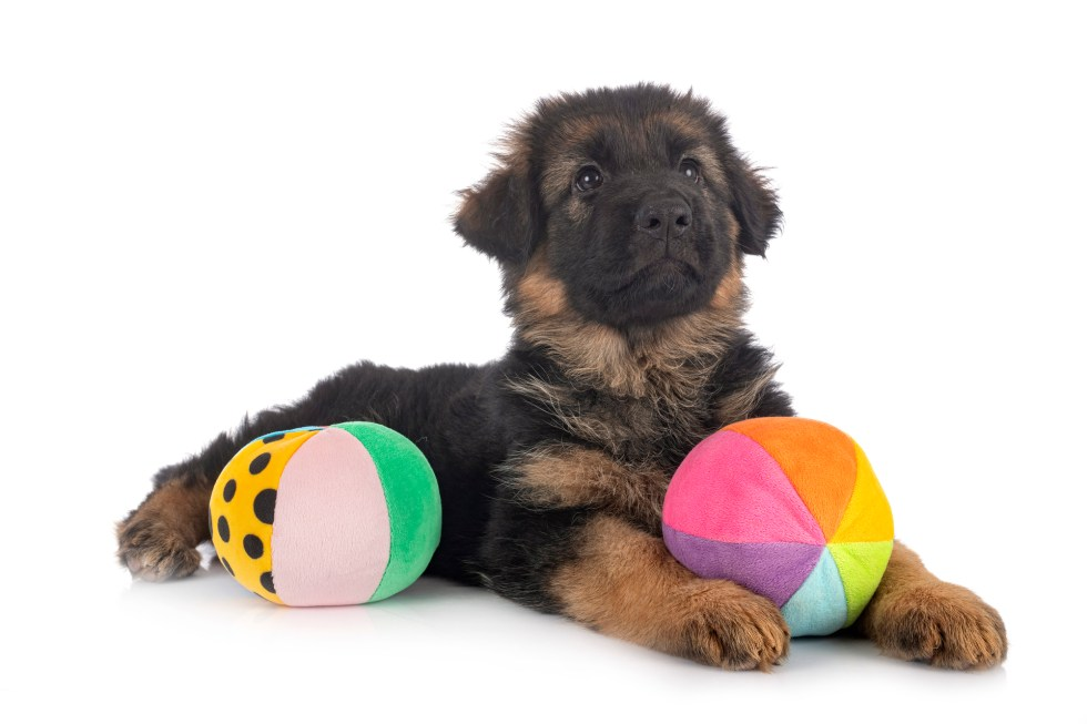 GSD Puppy With Toys