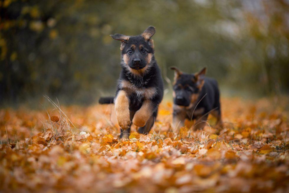 German Shepherd outside in Autumn