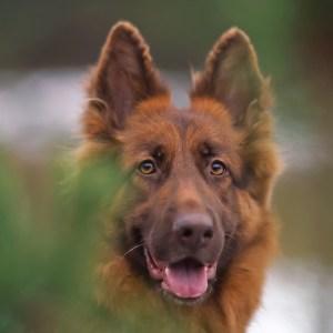 Liver German Shepherd