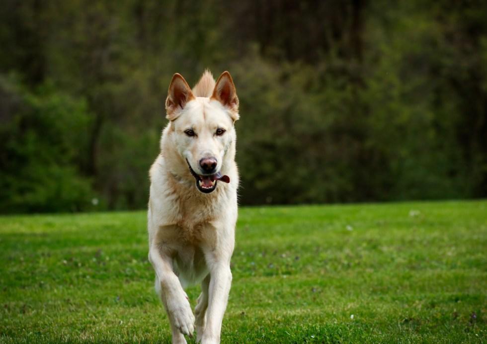 Blonde German Shepherd