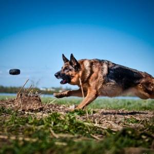 How Fast Do German Shepherds Run?
