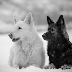 Dogs That Look Like German Shepherds