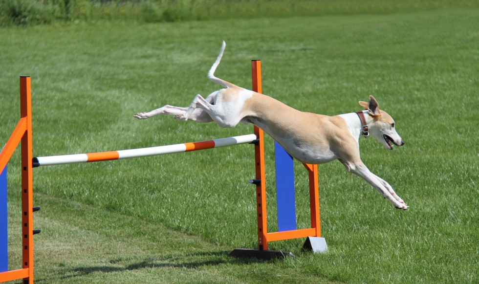 Whippet doing agility