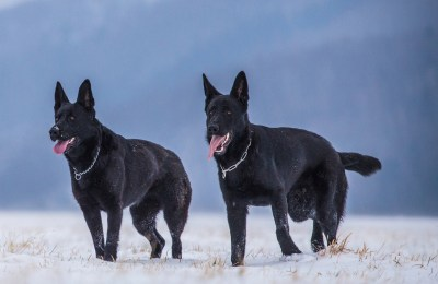 DDR German Shepherds