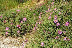 Pink Rockrose