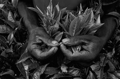 Workers: Picking tea, Rwanda