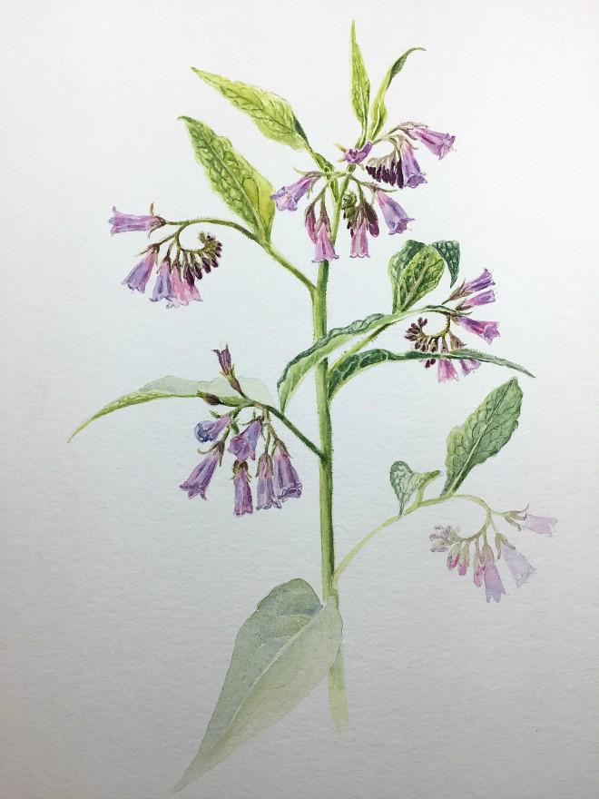Botanisches Aquarell: Malprozess