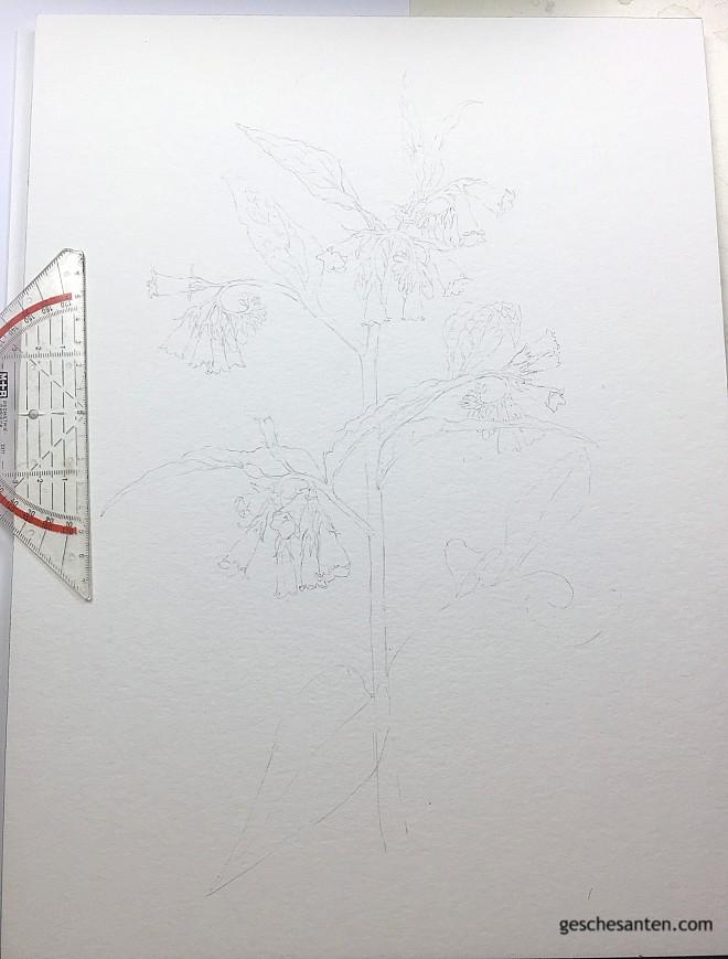 Botanisches Aquarell: Vorzeichnung
