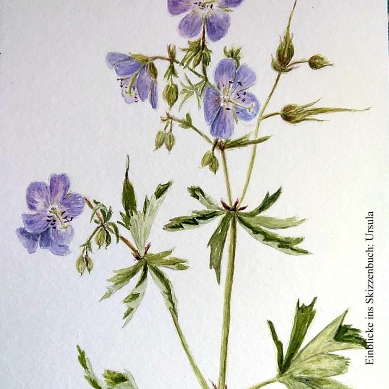 Einblicke ins Skizzenbuch – malende Naturforscherinnen erzählen: Ursula