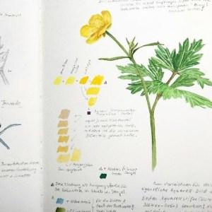 Einblick ins Skizzenbuch - malende Naturforscherinnen erzählen. Carolannas Geschichte. Wie sie mit botanischer Malerei und Aquarell begann und welche Tipps sich Anfängern fürs Skizzenbuch gibt.